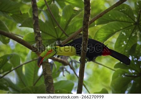 Bird with big beak Keel-billed Toucan, Ramphastos sulfuratus, in habitat green treetop with big leaves, Mexico - stock photo