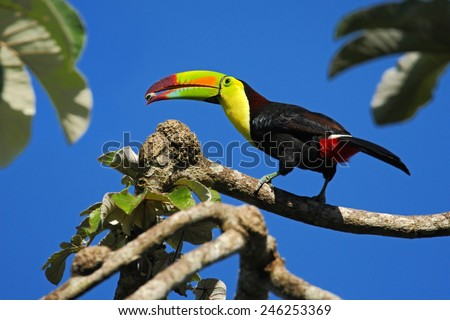 Bird with big bill Keel-billed Toucan, Ramphastos sulfuratus, with food in beak, in habitat with blue sky, Belize - stock photo