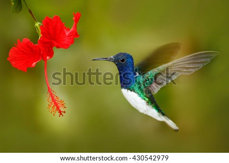 Bird with red flower. Hummingbird White-necked Jacobin, fflying next to beautiful red hibiscus flower with green forest background, Tandayapa, Ecuador. Hummingbird in the tropic forest. - stock photo