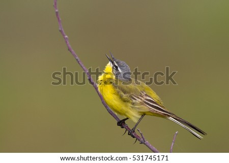 Bird - Yellow Wagtail (Motacilla flava) male, spring time