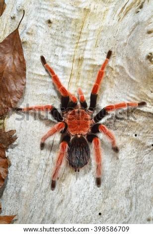 Birdeater tarantula spider Brachypelma boehmei in natural forest environment. Bright red colourful giant arachnid. - stock photo
