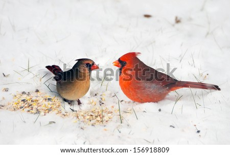 Birds.  A pair of Northern cardinals happily sharing seeds in the snow. - stock photo