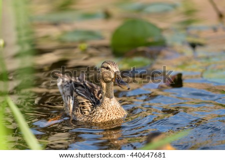 Birds and animals in wildlife. Closeup landscape of beautiful mallard mother duck swimming in colored water with green plants. - stock photo