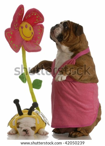 birds and the bees - english bulldog mother and puppy - stock photo