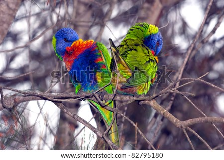 Birds, Australian Parrots, Rainbow lorikeets viewed in the shape of a heart - stock photo