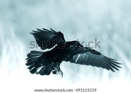 Bird Black Raven Corvu...