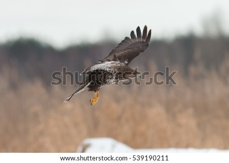 Birds - Common Buzzard (Buteo buteo)