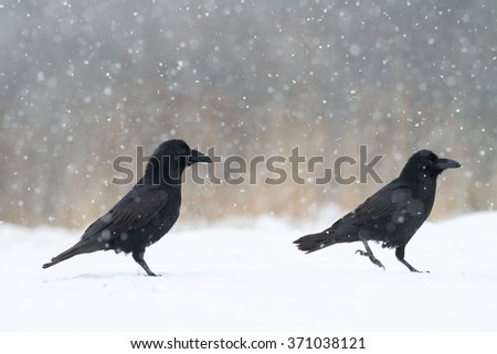 Birds - Common Raven (Corvus corax) in winter time