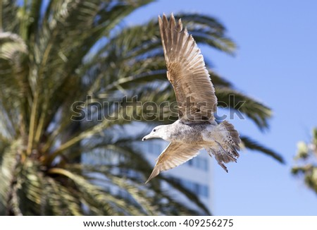 Birds during the flight. Portrait of birds flying against the blue sky and palm trees. The sun illuminates the feathers of the wings.