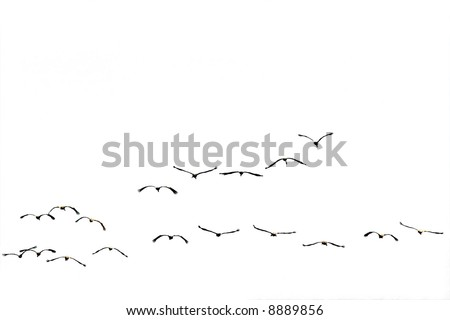 Birds flying against the white background(isolated).