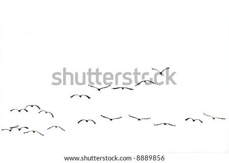 Birds flying against the white background(isolated). - stock photo