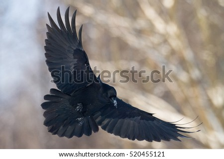 Raven Stock Images, Ro...