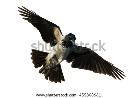 Birds - flying Hooded Crow (Corvus cornix) isolated on white background