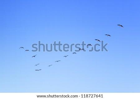 Birds Flying in V-Formation - stock photo