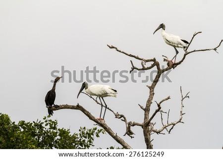 Birds in biosfera Celestun on the Yucatan, Mexico - stock photo