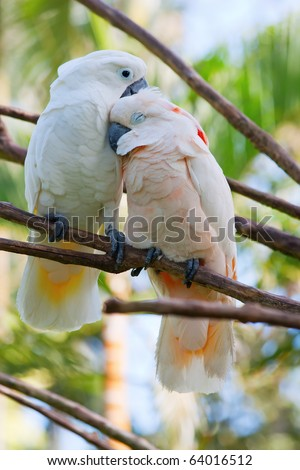 Birds in love: Pair of cockatoo parrots on the tree - stock photo