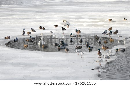 Birds in winter. Swans, gulls, ducks swim in a partly frozen lake