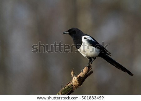 Birds - Magpie (Pica pica) perched on tree.