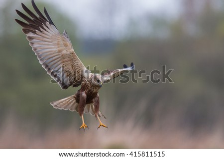 Birds - Marsh Harrier (Circus aeruginosus)