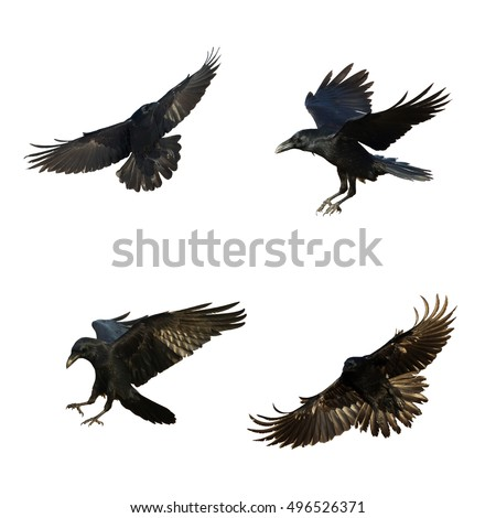Birds - mix flying Common Ravens (Corvus corax) isolated on white background. Halloween - mix four birds