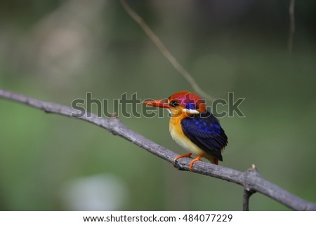 Birds / Nature life / Black-backed Kingfisher