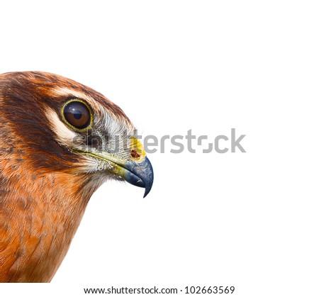 Birds of Europe and World - Montagu's harrier (Circus pygargus). - stock photo