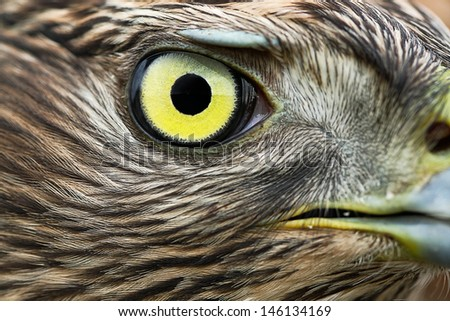 Birds of Europe - Northern Goshawk (Accipiter gentilis). - stock photo