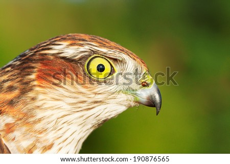 Birds of Europe - Sparrow-hawk (Accipiter nisus).