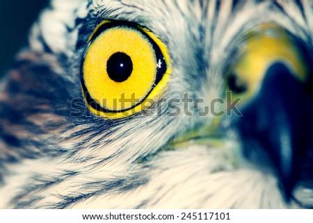 Birds of Europe - Sparrow-hawk (Accipiter nisus). - stock photo