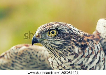 Birds of Europe - Sparrow-hawk (Accipiter nisus). - stock photo