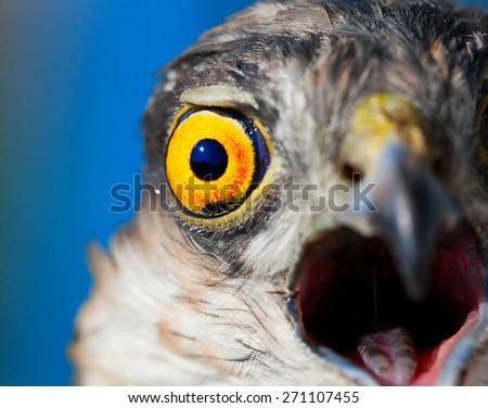 Birds of Europe - Sparrow-hawk (Accipiter nisus) - stock photo