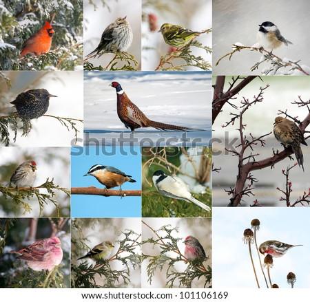 Birds of North America in winter collage. - stock photo