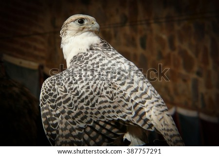 Birds of prey. Close-up and detail of falcon (Falco) - stock photo