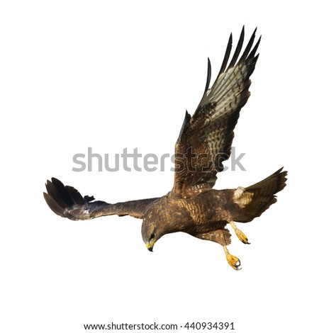 Birds of prey - Common Buzzard (Buteo buteo) isolated on white background