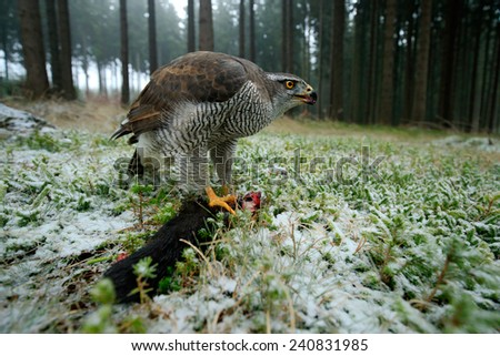 Birds of prey Goshawk with kill catch red squirrel in the forest with winter snow - photo with wide angle lens - stock photo