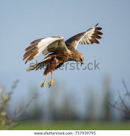 Harrier bird of prey