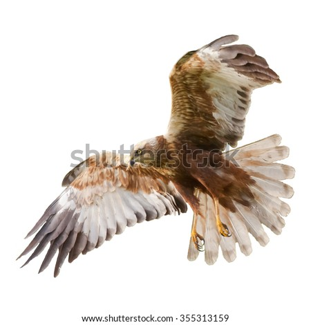 Birds of prey - Marsh Harrier (Circus aeruginosus) male isolated on white background - stock photo