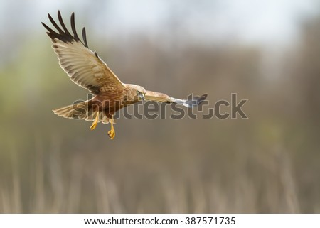 Birds of prey - Marsh Harrier (Circus aeruginosus) male, landing, hunting time