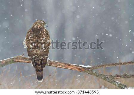 Birds of prey - Northern Goshawk (Accipiter gentilis) - stock photo