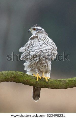 Birds of prey - Northern Goshawk (Accipiter gentilis) on a branch