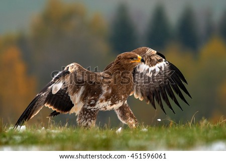 Birds of prey on the meadow with autumn forest in the background. Steppe Eagle, Aquila nipalensis, sitting in the grass on meadow, Norway. Eagle with open wing. Wildlife scene from the nature. - stock photo