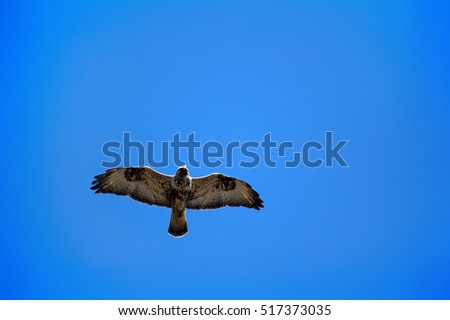 Birds of prey. Rough-legged Buzzard (Buteo lagopus) flying over nest. Birds of tundra and forest-tundra. Lapland