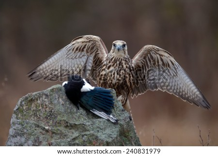 Birds of prey Saker Falcon with kill catch magpie sitting on the stone with open wing - stock photo