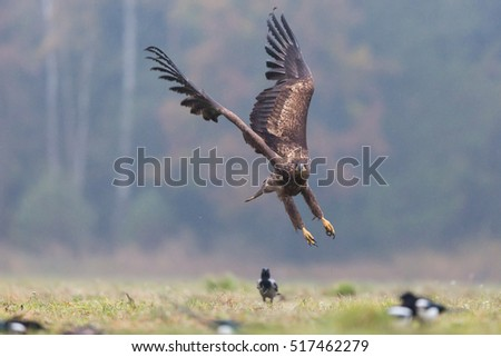 Birds of prey - White-tailed Eagle (Haliaeetus albicilla)