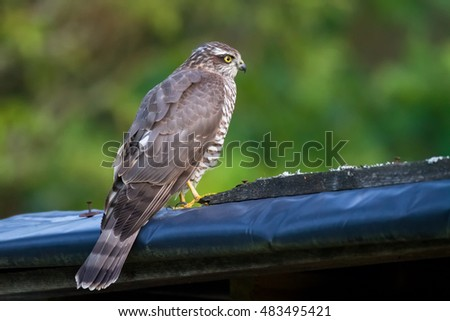 Birds of prey - young Sparrowhawk (Accipiter nisus)