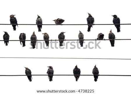 Birds on a Wire.  Isolated on white. - stock photo