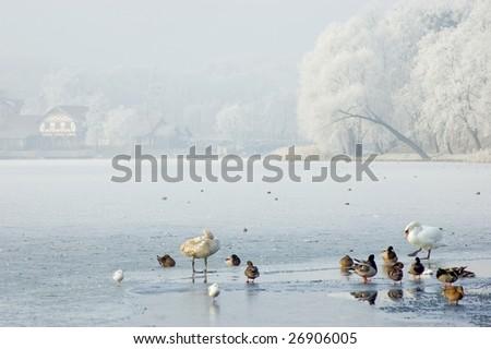 birds on the ice - stock photo