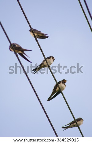 birds on wires Swallows - stock photo