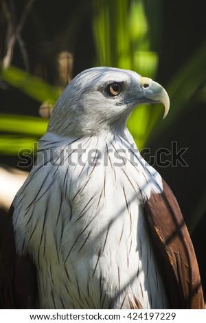 Birds Predator (peregrine Falcon close up) - stock photo