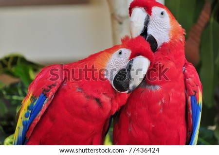 Birds: Red Macaw Parrot: Two bright multi-colored parrots. Close-up. Mexico
